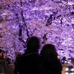 美しい桜並木が印象的なさくら通り。夜間にはこのようにライトアップされる。開花状況によってライティングの色を変化させる演出も