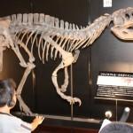肉食恐竜として日本で初めて全身骨格が復元されたフクイラプトル・キタダニエンシス