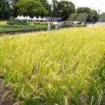 約600㎡の田に東北の代表的な稲穂が実る東北「農」の庭