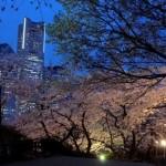 ライトに浮かび上がり、幻想的な雰囲気を醸し出す掃部山公園の夜桜