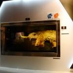 特注の冷凍ケースで展示されるシベリアの永久凍土から発掘された少女マンモス「ユカ」