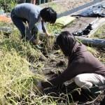 スペース上の都合から、昔ながらの手刈りで稲を刈り取る
