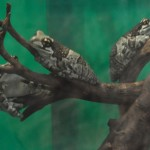 外敵から身を守るために体表の毒腺から白い毒液を出すジュウジメドクアマガエル