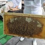 蜂の性質は本来おとなしく、危害を加えなければ近くで見ても安全だそう